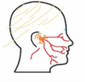 after the initial infection, the virus retreats to a cluster of nerve cells  called the ganglion (the orange shown in diagram) near the temples and goes